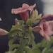 Small photo of Allamanda. Unusual pink form. Mafia Island
