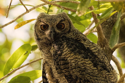 Pantanal: Great-horned Owlet Close-up