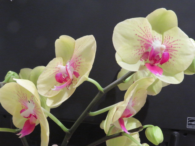 Orchidées chez lavandula - Page 2 37527388840_74e79f115d_z