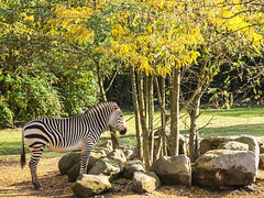 FLICKR - zebra