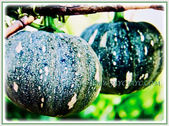 Lovely pair of Cucurbita moschata (Pumpkin, Butternut Pumpkin, Butternut/Winter Squash, Cheese Pumpkin) hanging on its stem, 16 Oct 2017