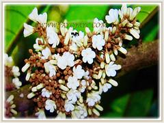 Captivating 5-petalled flowers of Vatica yeechongii (Resak Daun Panjang in Malay) in colours of white to beige, 21 Oct 2017