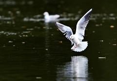 Holderfirst winter black headed gulls  on lake this morning