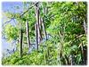 Moringa oleifera (Drumstick Tree, Horseradish Tree, Ben Oil Tree)