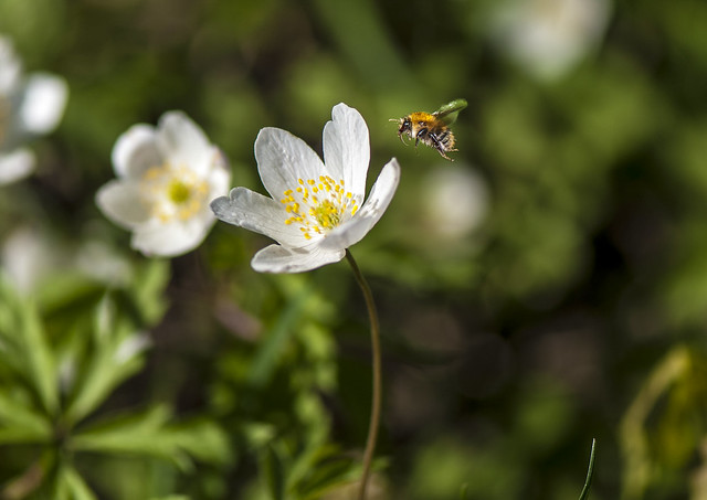 Windflower with Bee