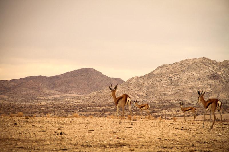 Namibia-Farm-Springböcke