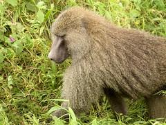 Olive Baboon (Papio anubis) in Ngorongoro Crater, Tanzania
