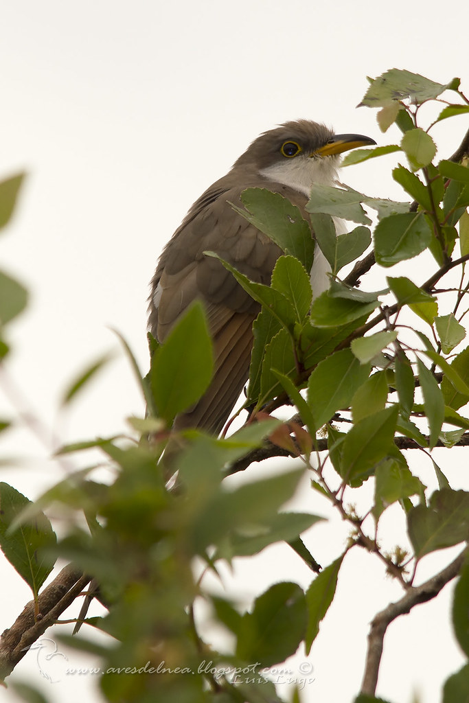 Cuclillo Pico Amarillo  (Yellow-billed Cuckoo) Coccyzus americanus (Linnaeus, 1758)