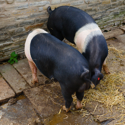 Pigs, Mary Arden's Farm, Wilmcote
