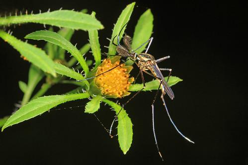 Elephant Mosquito - Toxorhynchites rutilis, Mason Neck, Virginia