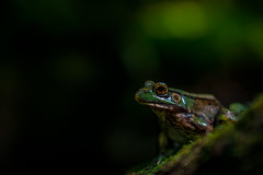 In Situ Green Frog