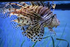 Tampa, FL - Lowry Park Zoo - Florida Wildlife - Lionfish