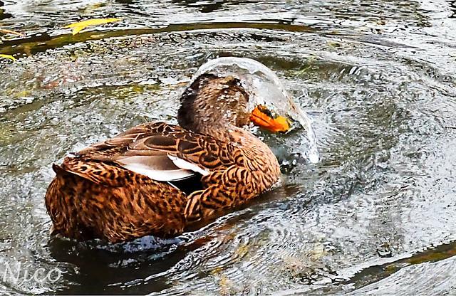 Female mallard bathing DSC_4887 Colvert femelle