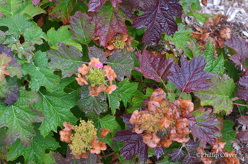 hydrangea-quercifolia-ruby-slippers