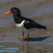 Oystercatcher Glasson D210bob DSC_6824