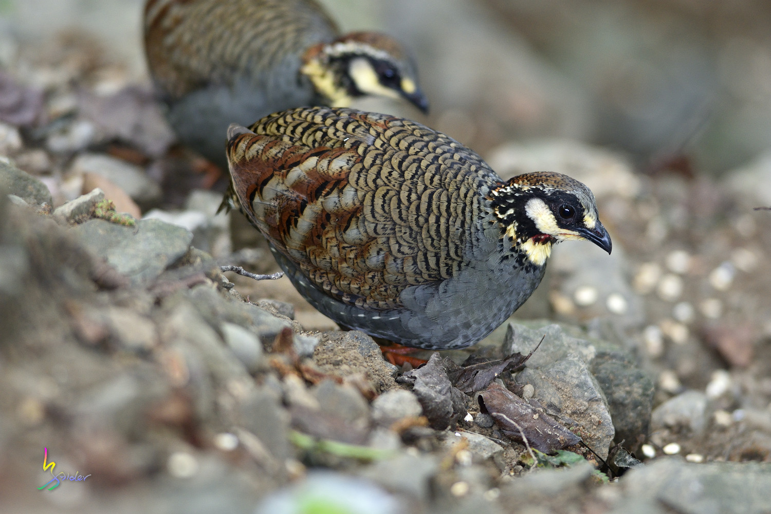 Taiwan_Hill_Partridge_3214