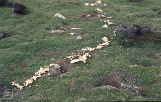 Ramsey. Part of fairy ring Marasmius oreades. 1969