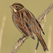 reed bunting 48 2017