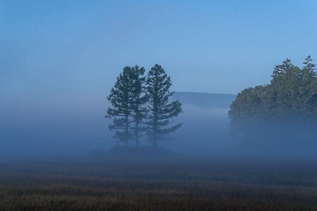 朝靄の三本カラマツ
