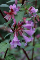 Linnaeaceae