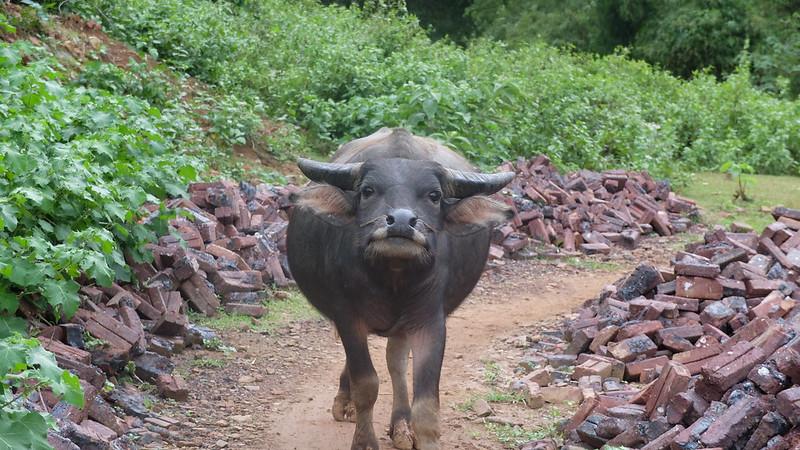 Búfalo de agua en el camino