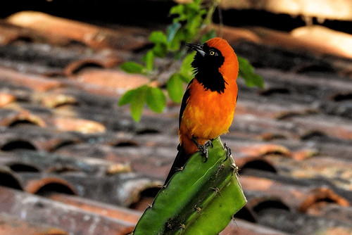 Pantanal: Orange-backed Troupial