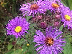It's Autumn! Michaelmas Daisies!