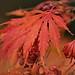 Autumn Reds ....