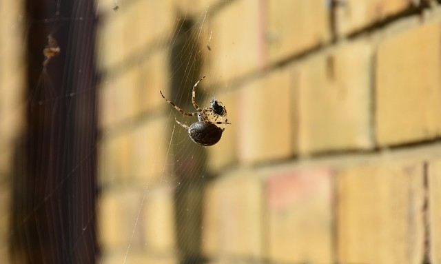 Common Garden Spider (19)