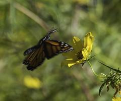 MonarchButterfly_SAF2426