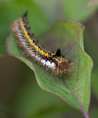 HolderDrinker Moth Caterpillar
