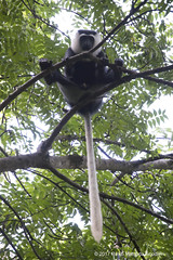 Adult male white-thighed colobus manspreading