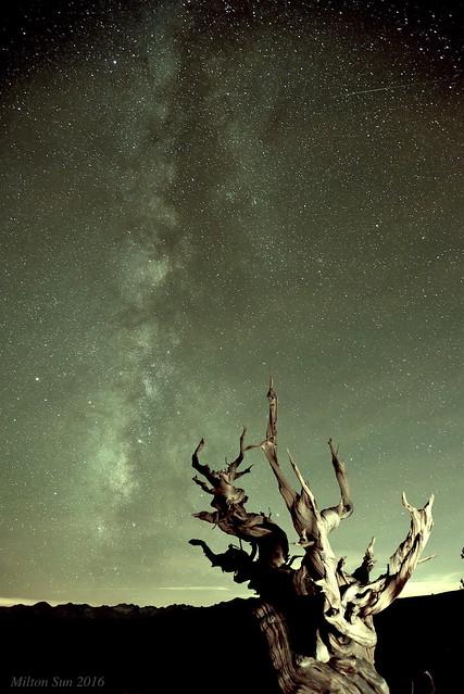 Old Pine under Milky Way