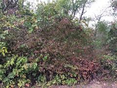Rusty blackhaw (Viburnum rufidulum) Caprifoliaceae