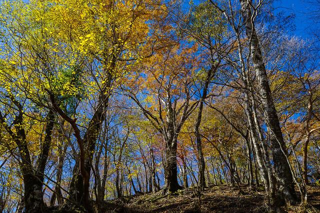 ブナの原生林1