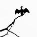 Cormorant surveys its domain