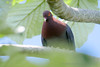 Patagioenas squamosa