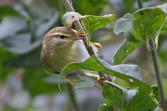 HolderWillow warbler.