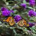 Monarch Butterflies, Sourlands