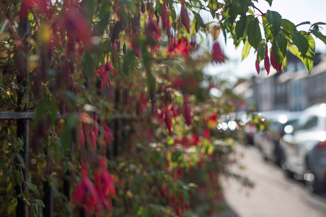 More Fuchsia than Fence. HFF