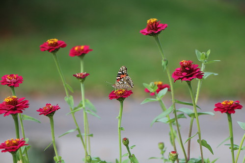 millersburg ohio amish holmes county trail flowers zinnia butterfly americanpaintedlady