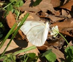 Ascia monuste. Great Southern White. Female