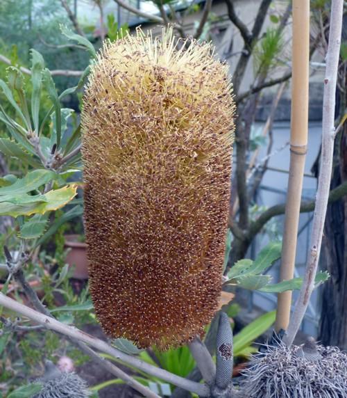 Banksia victoriae 26307624259_874432962c_o