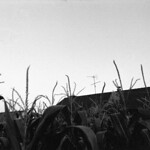 From the cornfield