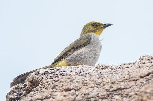 Yellow-throated Bulbul
