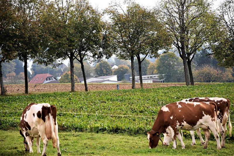 Cows 09.10 (3)