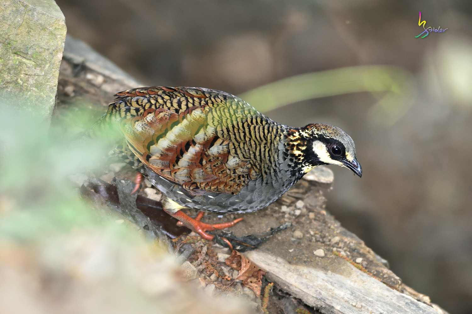 Taiwan_Hill_Partridge_3142