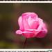 IMG_4342_Pink Rose