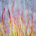 Ornamental Grass, Darts Hill Garden Park by ScarletBlack