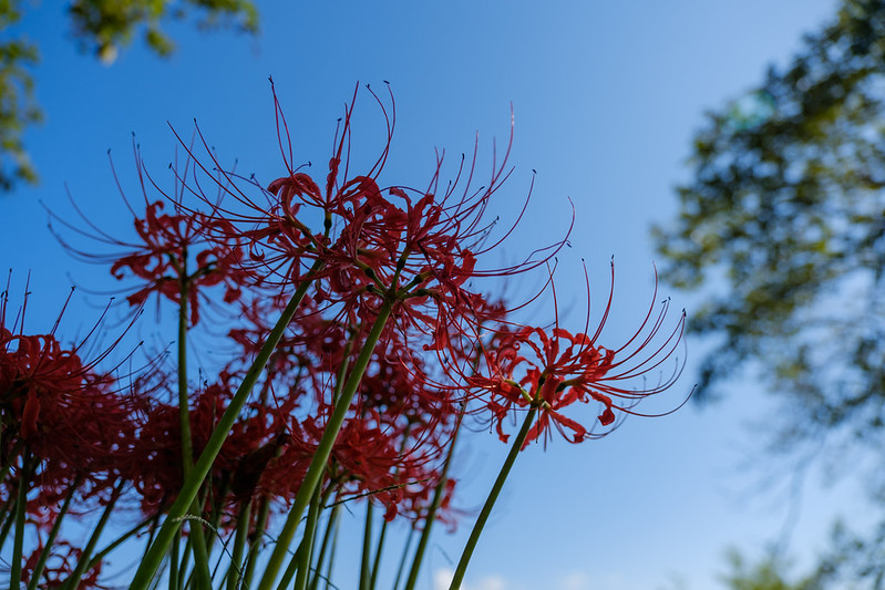 cluster belladonna